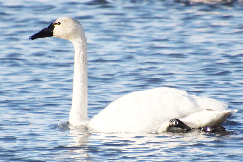 A magnificent migrator: the Tundra Swan