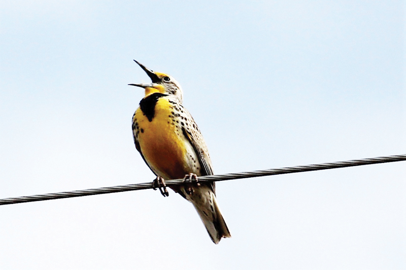 There's Some Lemon On My Meadowlark!